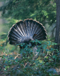Use active tactics to get your gobbler.